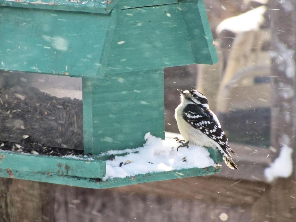 Downy, or hairy or foo foo bird. by maggie2