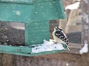 4th Jan 2012 - Downy, or hairy or foo foo bird.