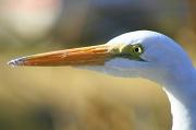 5th Jan 2012 - Great Egret