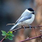 6th Jan 2012 - Chickadee