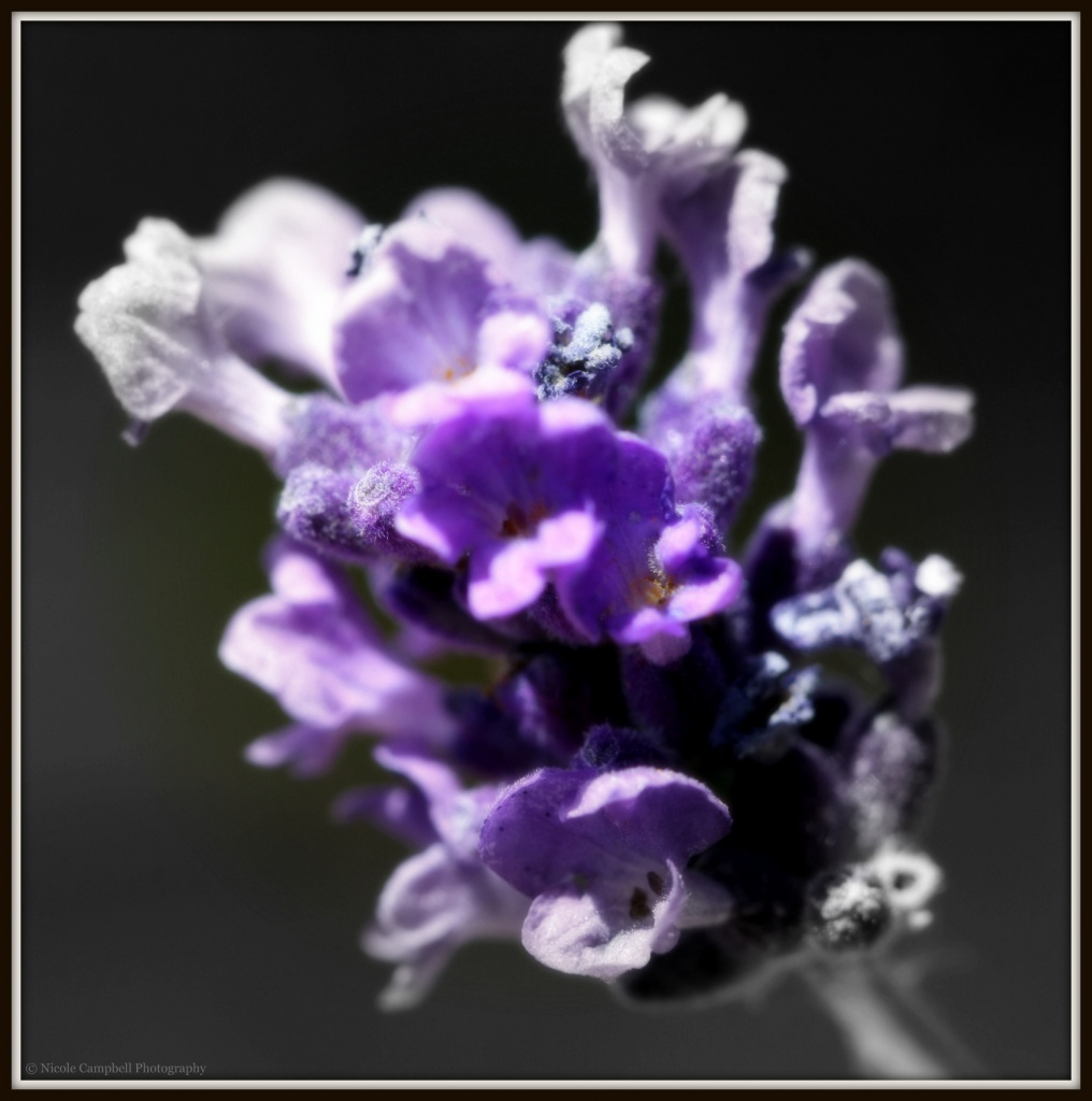 A touch of lavender by nicolecampbell