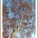 Sutton Hoo Silver Birch