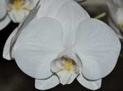 8th Jan 2012 - Orchid