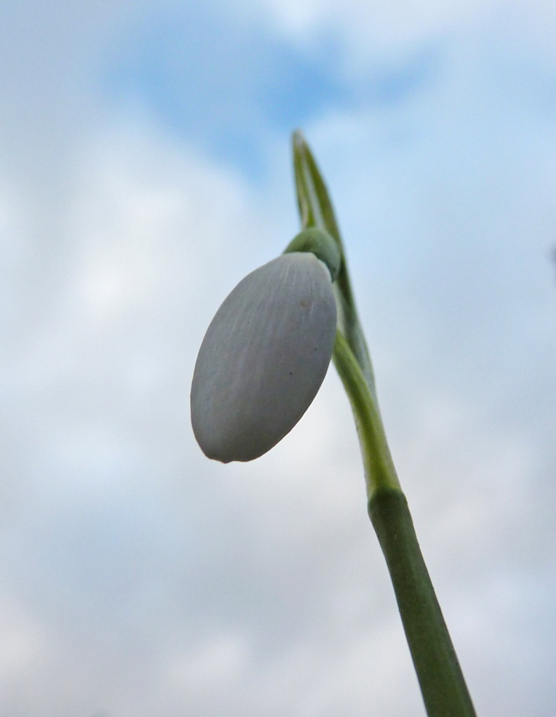 Worms Eye View of a Snowdrop by phil_howcroft