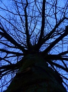 8th Jan 2012 - Pin Oak