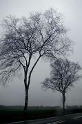 10th Jan 2012 - misty birches