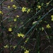 Winter jasmine by jennywren