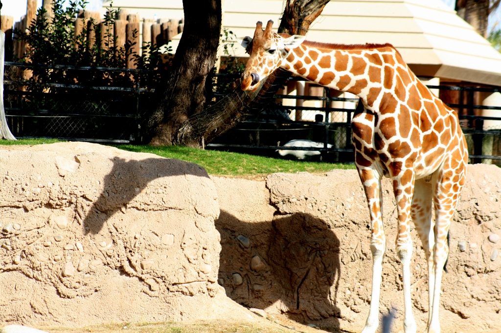 Giraffe Shadow by kerristephens