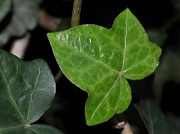 11th Jan 2012 - Ivy Leaf