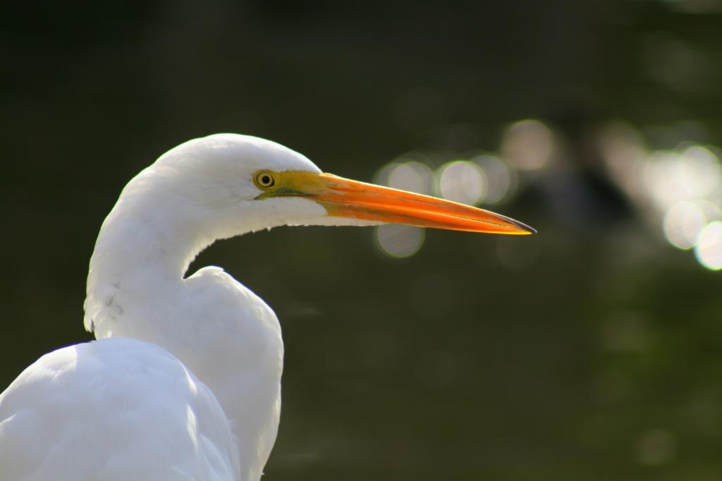 Great Egret by kerristephens