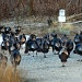 Flock of Turkeys by lauriehiggins