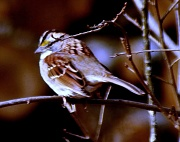 15th Jan 2012 - White-throated Sparrow