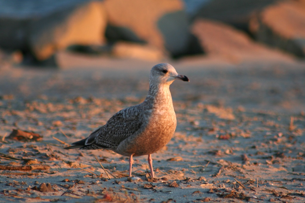 Sunset Gull by lauriehiggins