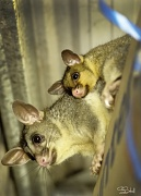 15th Jan 2012 - Our resident possums