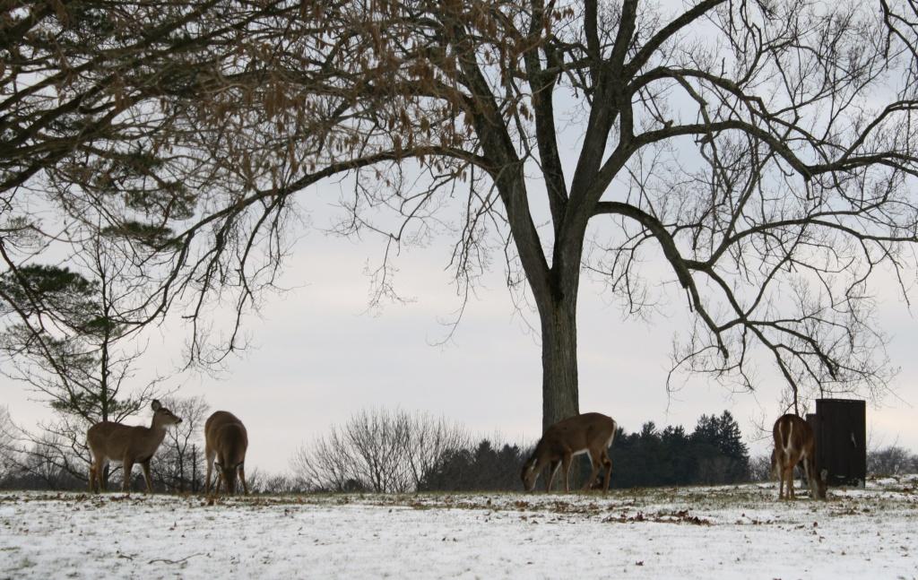Deer grazing by mittens