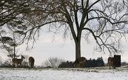 15th Jan 2012 - Deer grazing