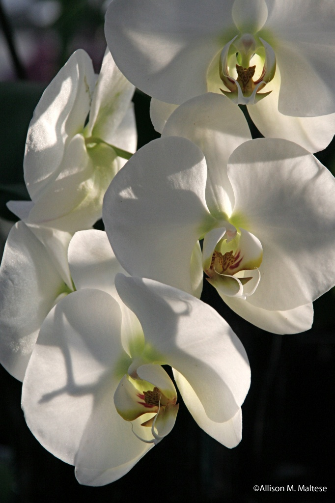 White Orchids by falcon11