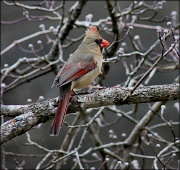 16th Jan 2012 - Mrs. Cardinal