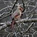 Mrs. Cardinal by cjwhite