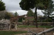 16th Jan 2012 - Giraffe At Reid Park Zoo