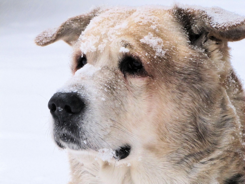 Snow dog. by maggie2