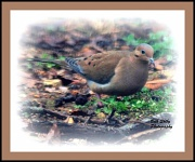 17th Jan 2012 - Mourning Dove