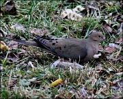 17th Jan 2012 - Dove