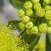 Bursting forth by corymbia