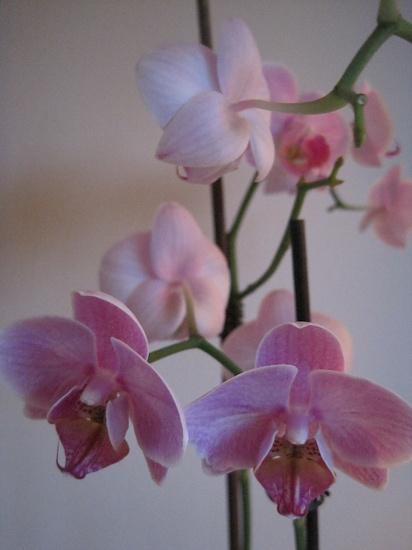 pink phalaenopsis by quietpurplehaze
