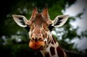 19th Jan 2012 - Drooling Giraffe