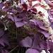 Purple purple purple by bruni