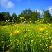fields of gold by iiwi