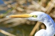 20th Jan 2012 - Great Egret
