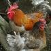 coq et poule by parisouailleurs