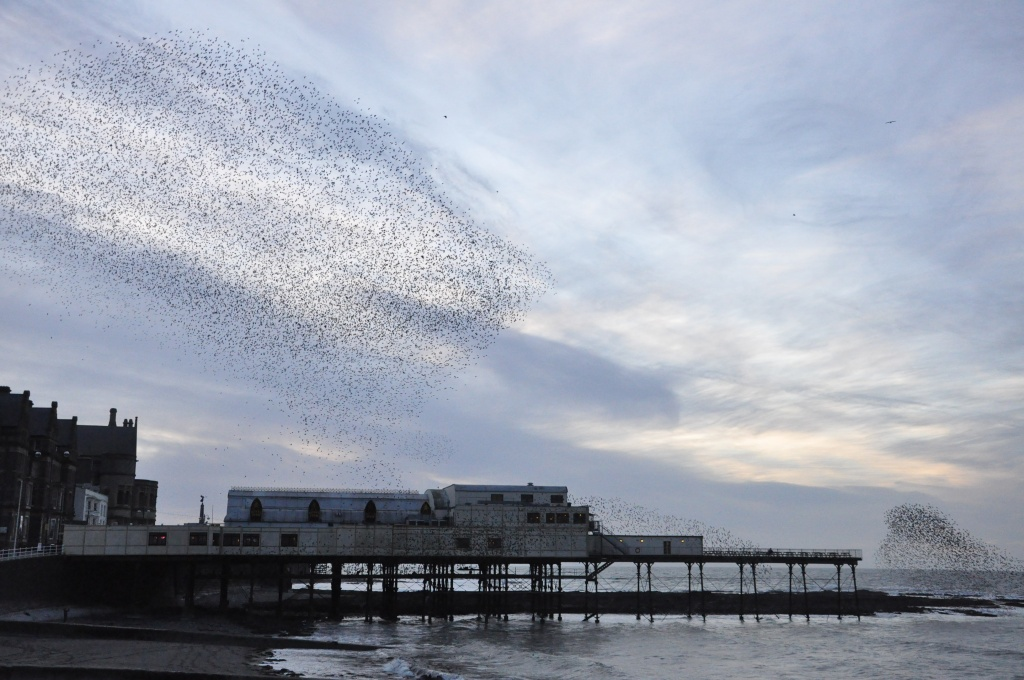 Starlings settling for the night by overalvandaan