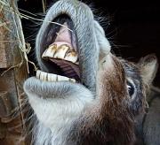 23rd Jan 2012 - donkeys don't floss
