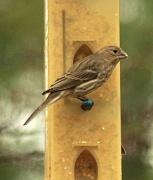 23rd Jan 2012 - Female   House   Finch