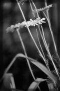 27th May 2010 - daisies ~*~