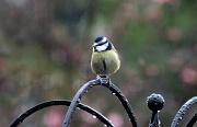 24th Jan 2012 - I'm a damp birdie!