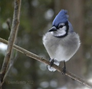 26th Jan 2012 - Blue Jay