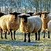ewe looking at me? by jantan