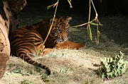 28th Jan 2012 - Baby Tiger
