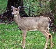 29th Jan 2012 - Deer