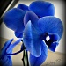 blue orchid by mjmaven