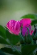 29th May 2010 - rosa rugosa....