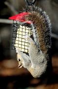 30th Jan 2012 - Different Squirrel-Same Problem