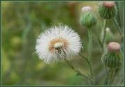 1st Feb 2012 - Seed Head