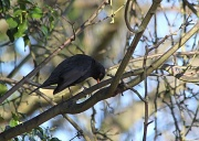 2nd Feb 2012 - Blackbird, blue sky, a few green leaves, and some branches