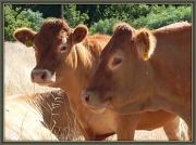 4th Feb 2012 - Cows