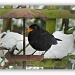 365-36 Blackbird in the snow 2 by judithdeacon